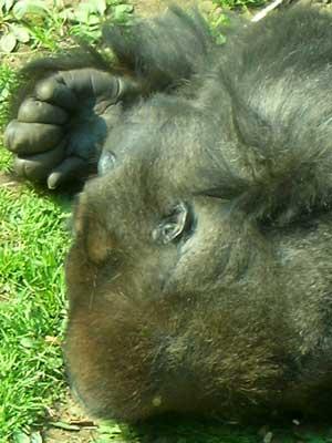 Gorillate1