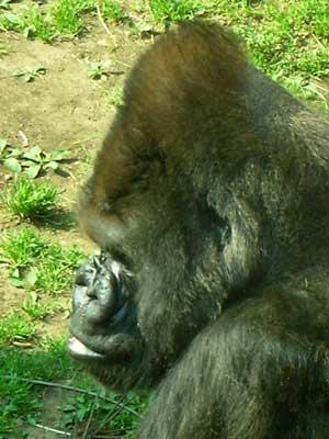 Gorillayokogao1