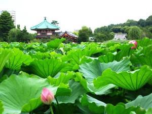Hasunohanashinobazunoike20117